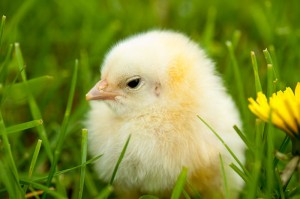 chick-in-grass