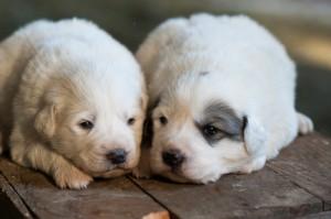 Puppies-109