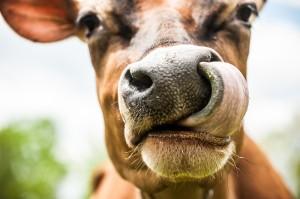 2014 cows-104