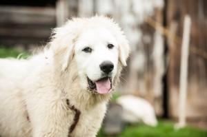 July 2014 Pyr pups-101