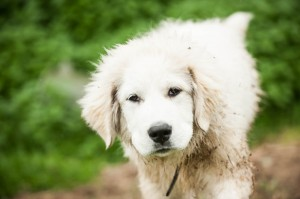 July 2014 Pyr pups-102