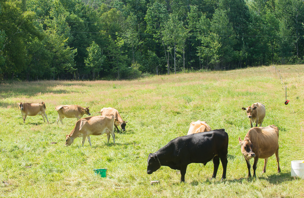 Small Grass-fed Jersey herd for sale | Woven Meadows Farm